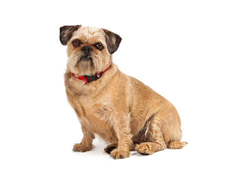 A cute little Brussels Griffon dog sitting and looking at the camera with a funny expression and two teeth out