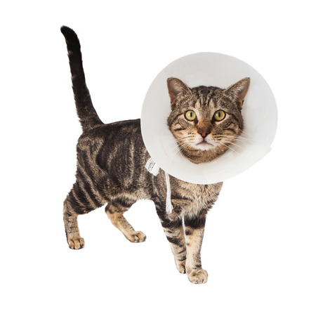 A striped adult cat wearing a plastic cone collar to protect her from licking a wound from a recent surgery photo