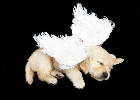 A six week old Golden Retriever puppy wearing angel wings while sleeping on a black background Stock Photo