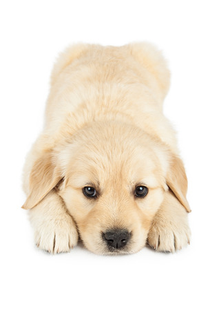 laying down: An adorable six week old Golden Retriever puppy laying down and looking forward