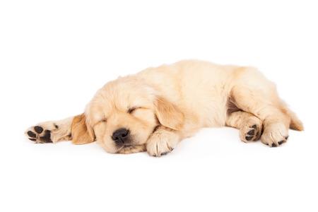Een leuke kleine zes weken oude Golden Retriever pup slapen op een witte achtergrond
