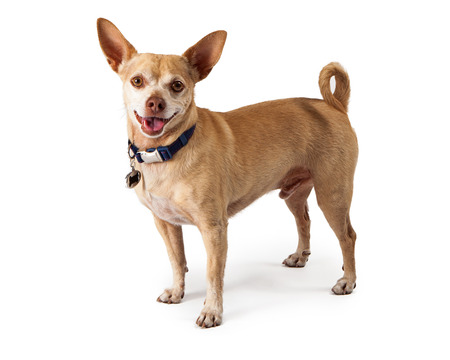 ittle: A happy ittle Chihuahua dog standing and looking at the camera with a smile on his face