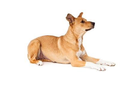 side profile: Vista di profilo laterale di un cane incrocio Labrador Retriever, recante