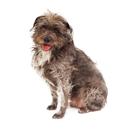 big dog: A large mixed breed scruffy terrier dog sitting against a white backdrop