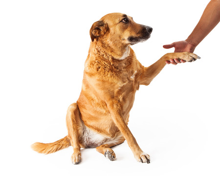 Golden Retriever mixed breed dog extending his paw to shake the hand of a man photo
