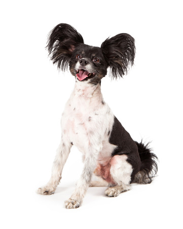 A cute happy little Papillon dog sitting with a big smile on his face  photo