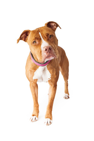 Pit Bull dog standing and looking at the camera with head tilted photo