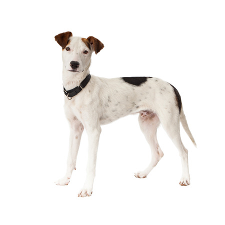 pointer dog: A cute young Pointer mixed breed dog standing and looking at the camera Stock Photo