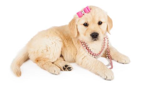 bow hair: Un lindo perrito Golden Retriever llevaba una rosa collar y del pelo del arco