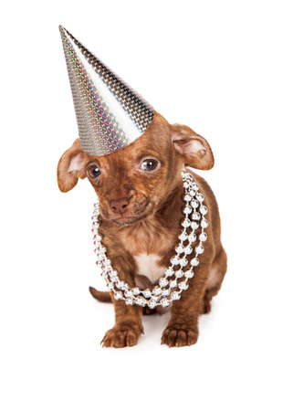 pet new years new year pup: A cute little brown color mixed breed puppy wearing silver beads and a party hat while sitting on a white background and looking at the camera.