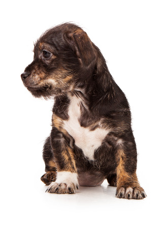 lapdog: An adorable little mixed breed puppy sitting down and looking off to the side Stock Photo