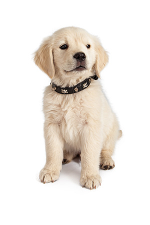 spiked: Golden Retriever puppy wearing a skull and crossbones spiked black leather collar