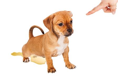 인간의 손이 승인에 손가락을 가리키는 동안 바닥에 소변에 의해 훈련 실수를 작은 혼합 된 유형 강아지