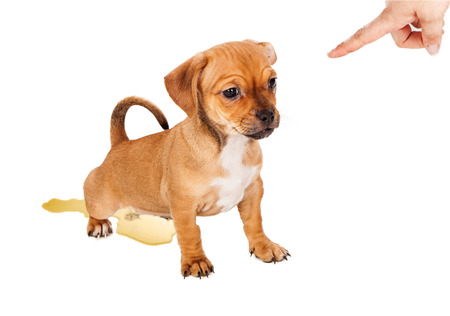 A small mixed breed puppy making a training mistake by urinating on the floor while a human hand is pointing a finger in disapproval photo