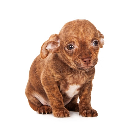 Adorable little mixed breed pupy with a sad expression on his face  Stock Photo