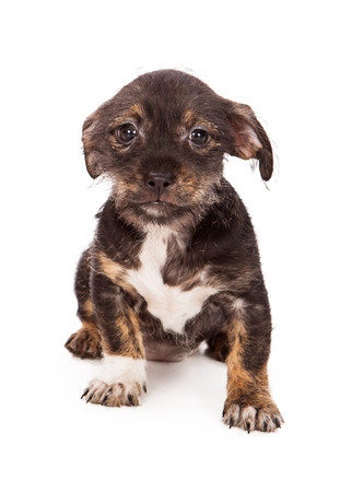 A cute little mixed breed brown and black puppy sitting and looking at the camera with a scared expression