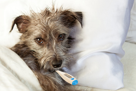 A cute sick terrier dog laying in bed with a thermometer in his mouth