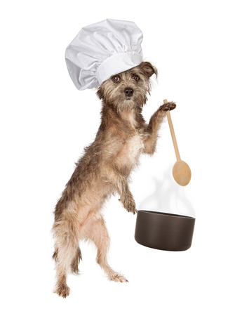 A cute Cairn Terrier mixed breed dog wearing a chef hat while holding a cooking pot and wooden spoon