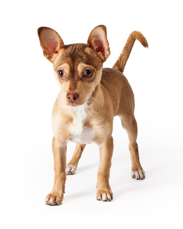 lapdog: Small Chihuahua crossbreed dog with big ears