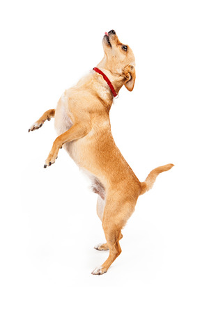 A small Chihuahua mixed breed dog standing on hind legs begging for treat with tongue out Stock Photo