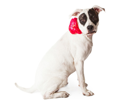 black and white pit bull: A beautiful white and black female Pit Bull dog wearing a pink flower collar sitting nicely and looking at the camera.