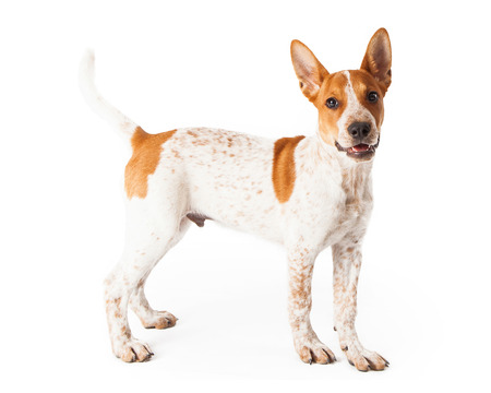 red heeler: A cute three month old Red Heeler mixed breed puppy standing off to the side with a happy expression on his face.