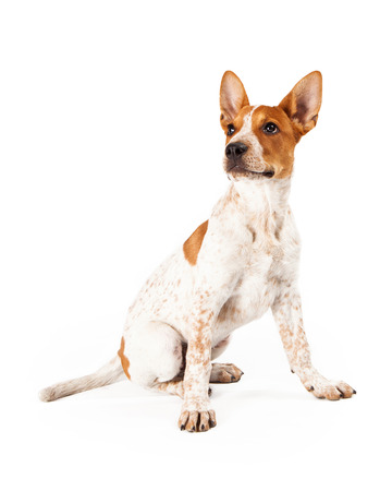 red heeler: Cute three month old Red Heeler puppy dog sitting and looking off to the side