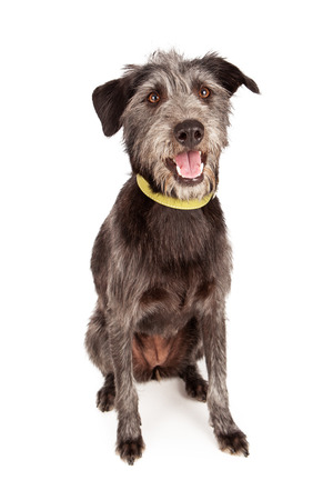 wirehaired: A cute young female Schnauzer and terrier mixed breed dog sitting against a white backdrop with a happy expression. Stock Photo