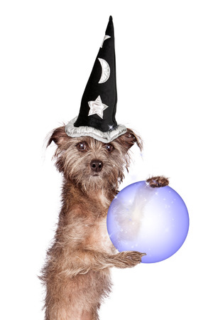 wizard hat: A cute scruffy Terrier mixed breed dog wearing a wizard hat while standing up and holding a crystal fortune telling ball in his paws Stock Photo
