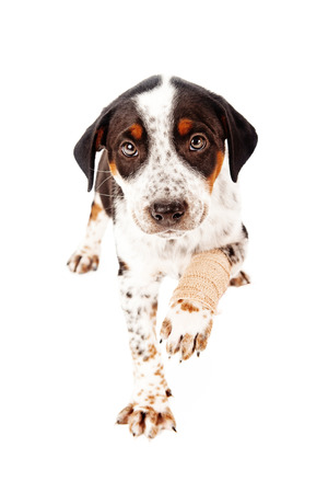 A cute eight week old puppy with an injured leg in a bandage looking at camera and extending paw out