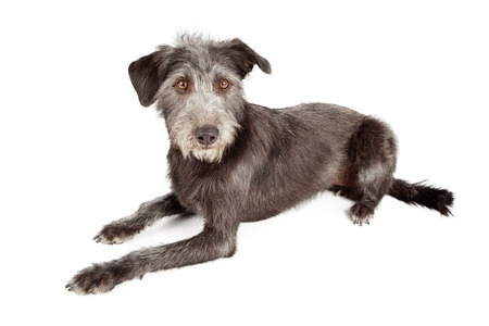 wirehaired: Schnauzer and terrier mixed breed dog of medium size laying down