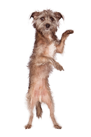 A cute scruffy Terrier mixed breed dog standing up with his paws extended out. Add your product to have him hold it.