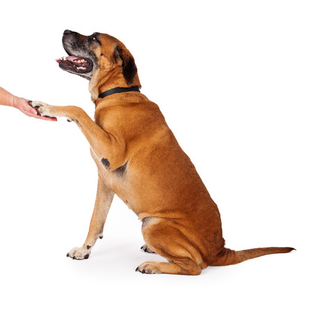 Mastiff dog sitting pretty and politely shaking the hand of a trainer wile looking in her direction photo