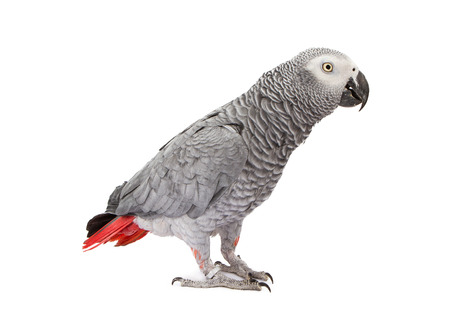 African Grey Parrot standing off to the side photo