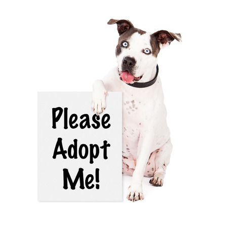 adopting: A friendly American Staffordshire Terrier dog sitting and holding a sign saying Please Adopt Me Stock Photo