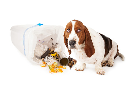 guilty: Basset Hound dog looking up with a guilty expression while sitting next to a tipped over garbage can