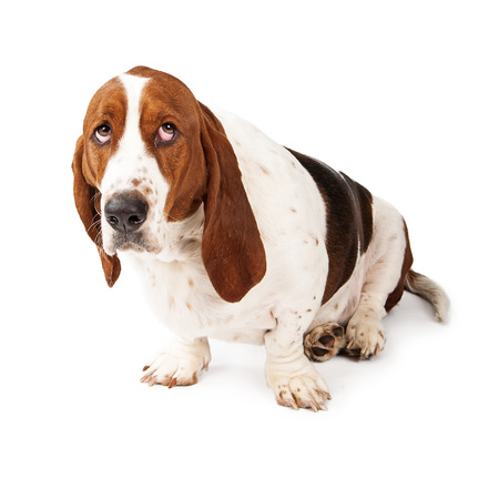 Basset Hound dog looking up with a guilty expression photo