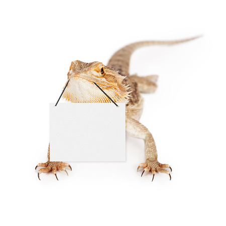 bearded dragon lizard: A bearded dragon with selective focus on the face holding onto a blank sign with his mouth. Enter your marketing message.
