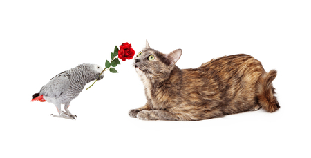 Grey Parrot holding a red rose in its beak and giving it to a pretty cat photo