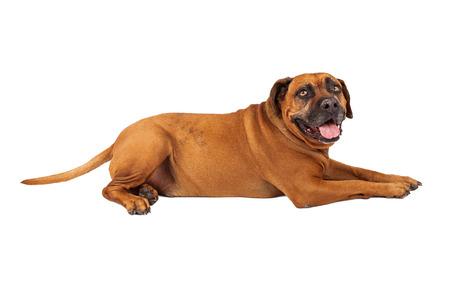 Mastiff dog against a white backdrop