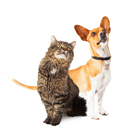 medium size: A cute medium size mixed breed dog and a beautiful long hair cat sitting together and looking up in the same direction off to the side Stock Photo