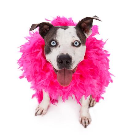 羽毛製の襟巻にピンクを着て満足してフレンドリーなピット ・ ブル犬
