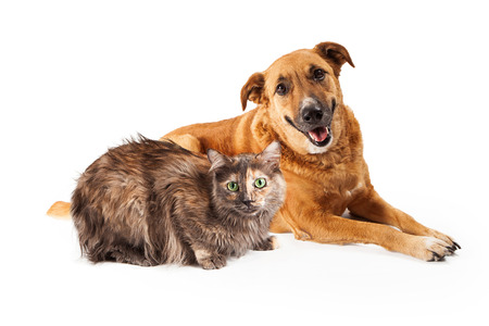cat walk: A happy adult large mixed breed golen color dog laying down with a smile on his face next to a pretty Persian cat
