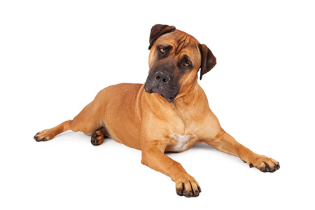 tilted: A large Mastiff dog laying down on a white background and tilting her head