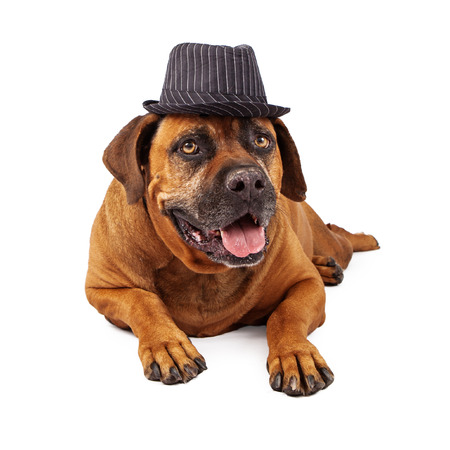 A happy Mastiffdog wearing a black and white pinstripe vintage gangster style hat Stock Photo