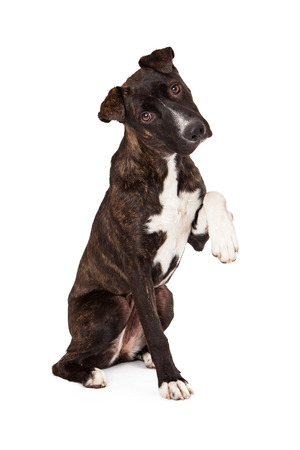 cur: A pretty brindle coated Mountain Cur dog sitting and raising one paw up. Place your product under paw to appear as she is holding it. Stock Photo