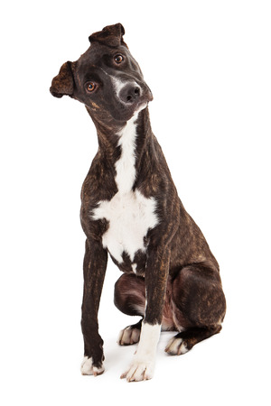 A beautiful Mountain Cur breed dog sitting while looking at the camera with a tilted head