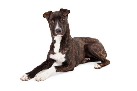 brindle: A beautiful Mountain Cur breed dog with a brindle coat laying down and looking at the camera