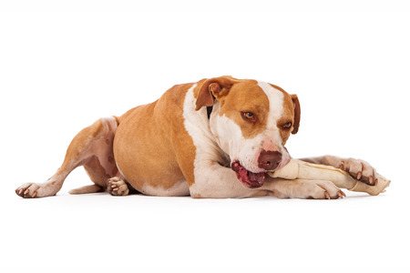 rawhide: A Pit Bull dog laying down and chewing on a big rawhide bone