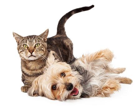 귀여운 장난 혼합 품종 테리어 강아지와 함께 누워 얼룩 무늬 고양이